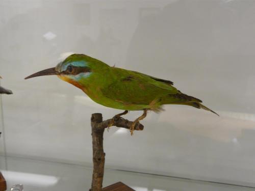 Noc v muzeu Merops persicus