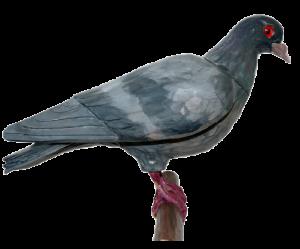 07 rozpoznavani predatora holub dřevo