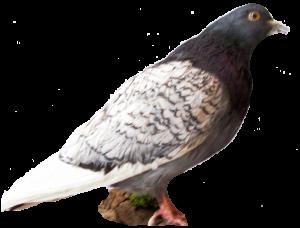 10 rozpoznavani predatora holub
