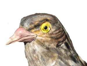 12 rozpoznavani predatora krahujci hlava s holubim zobákem