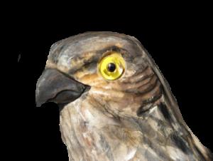 13 rozpoznavani predatora krahujci hlava