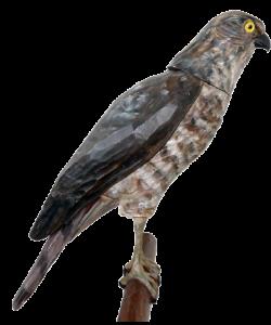14 rozpoznavani predatora krahujec drevo