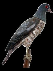 15 rozpoznavani predatora krahujec s holubi hlavou