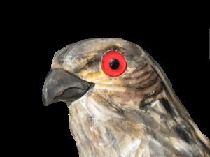 16 rozpoznavani predatora Krahujec s holubim okem