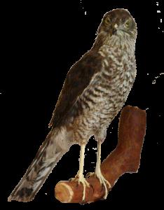 18 rozpoznavani predatora krahujec