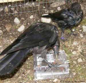 ravens 03