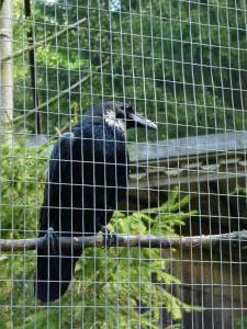 ravens 13